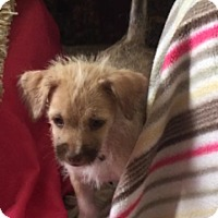 Adopt A Pet :: Mocha 2 - Las Vegas, NV