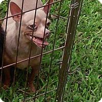 Adopt A Pet :: COCO - Houston, TX