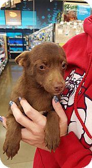 Chihuahua Dog for adoption in Fresno, California - Cocoa