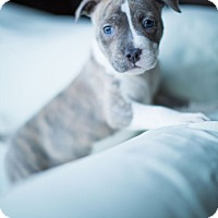 Adopt A Pet :: Clara - Reisterstown, MD