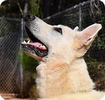German Shepherd Dog Dog for adoption in Hooksett, New Hampshire - Eiffel (OH)