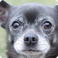 Adopt A Pet :: Capone - Romeoville, IL