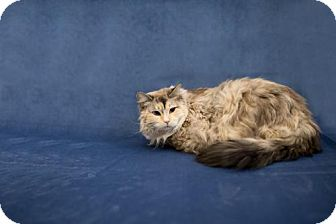 RagaMuffin Cat for adoption in Valley Falls, Kansas - Alice