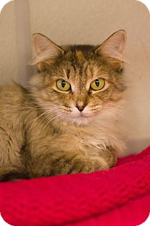 Domestic Longhair Cat for adoption in Grayslake, Illinois - Whirlwind