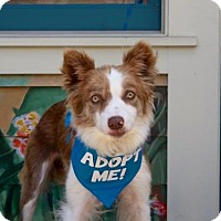 Adopt A Pet :: Betsy Border Collie - Pacific Grove, CA