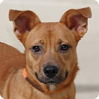 Welsh Corgi Mix Dog for adoption in Toccoa, Georgia - Scooby