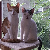 Domestic Shorthair Kitten for adoption in Albemarle, North Carolina - Chester Arthur