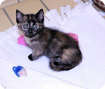 Calico Kitten for adoption in Lumberton, North Carolina - Janet