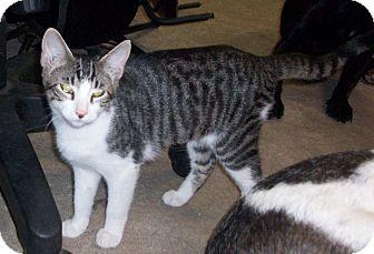 Domestic Shorthair Kitten for adoption in Morriston, Florida - Ying
