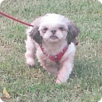 Shih Tzu Dog for adoption in Gaffney, South Carolina - Willow- ShihTzu 6 yrs