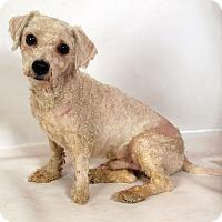 Adopt A Pet :: Bo Bichon - St. Louis, MO