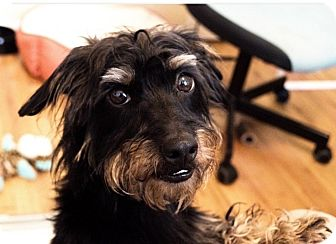 Dachshund/Terrier (Unknown Type, Small) Mix Dog for adoption in New York, New York - Wolfgang