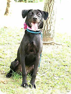 Labrador Retriever Mix Puppy for adoption in Castro Valley, California - Angelie