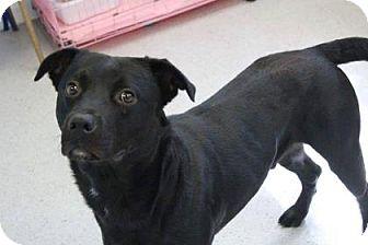 Labrador Retriever Mix Dog for adoption in Gainesville, Florida - Gunner
