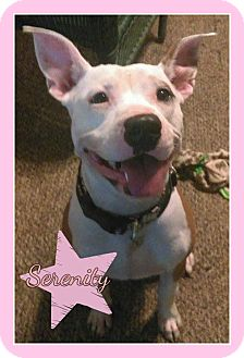 American Pit Bull Terrier Mix Dog for adoption in Des Moines, Iowa - Serenity ADOPTION PENDING