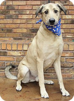 Anatolian Shepherd Mix Dog for adoption in Benbrook, Texas - Max