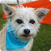 Terrier (Unknown Type, Small) Mix Dog for adoption in Wenatchee, Washington - Watts