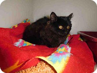 Domestic Mediumhair Kitten for adoption in McKinleyville, California - OLIVIA