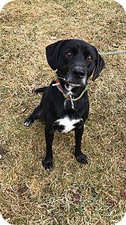 Labrador Retriever/Border Collie Mix Dog for adoption in Sparta, New Jersey - Roscoe