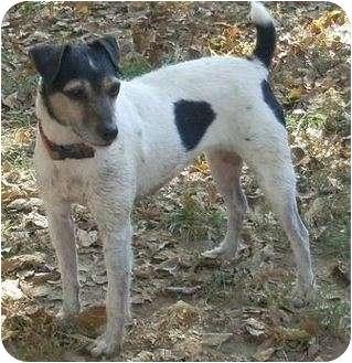 Jack Russell Terrier Dog for adoption in Omaha, Nebraska - Judy
