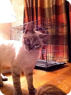 Siamese Cat for adoption in Wenatchee, Washington - Tippy