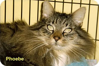 Domestic Longhair Cat for adoption in Medway, Massachusetts - Phoebe