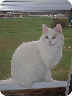 Norwegian Forest Cat Cat for adoption in Jeffersonville, Indiana - Squeakers