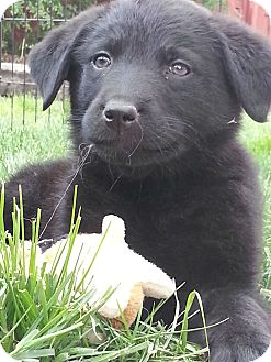 Golden Retriever Mix Puppy for adoption in Denver, Colorado - Midnight