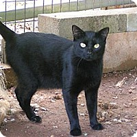 Adopt A Pet :: Ashfur - Monroe, GA