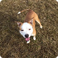 Pit Bull Terrier Mix Dog for adoption in Dayton, Ohio - Paco