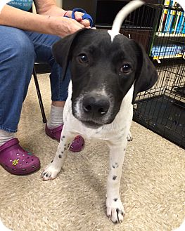 Labrador Retriever/Border Collie Mix Dog for adoption in Schertz, Texas - Speckles