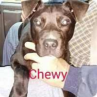 Labrador Retriever/American Pit Bull Terrier Mix Puppy for adoption in Burlington, Vermont - Chewy
