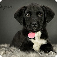 Adopt A Pet :: Cheyenne is Reserved - Kirkland, QC