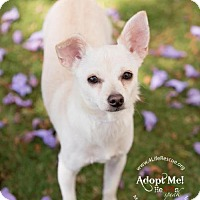 Adopt A Pet :: Tigri - Orange, CA