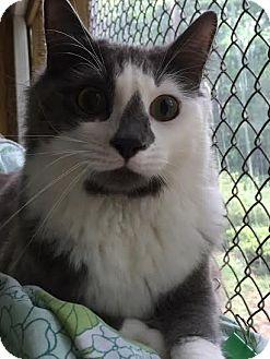 Domestic Longhair Cat for adoption in Asheboro, North Carolina - Sprite