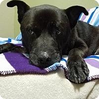 Adopt A Pet :: Wonderful Wallace - Issaquah, WA