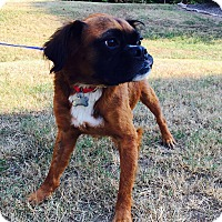 Boxer/Australian Shepherd Mix Dog for adoption in Allentown, Pennsylvania - Oskar (rbf)
