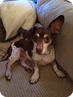 Basset Hound/Jack Russell Terrier Mix Dog for adoption in Columbia, Tennessee - Hector/TN