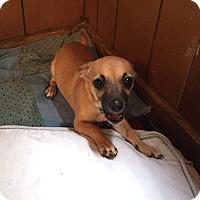 Adopt A Pet :: Hermine - Savannah, GA