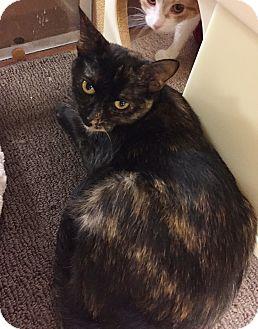 Domestic Shorthair Cat for adoption in Barrington Hills, Illinois - Ginny