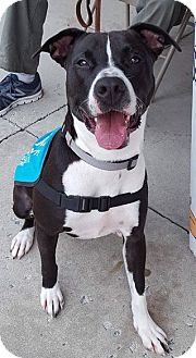 Border Collie/Pit Bull Terrier Mix Dog for adoption in Mount Laurel, New Jersey - Layla