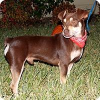 Adopt A Pet :: Herschel Walker - San Jose, CA