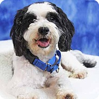 Adopt A Pet :: Dancer - South Bend, IN