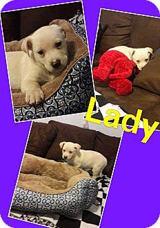 Retriever (Unknown Type)/German Shepherd Dog Mix Puppy for adoption in LAKEWOOD, California - Lady