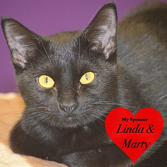 Domestic Shorthair Cat for adoption in San Leon, Texas - Georgia