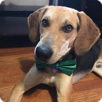 Hound (Unknown Type) Mix Dog for adoption in St Louis, Missouri - Champ