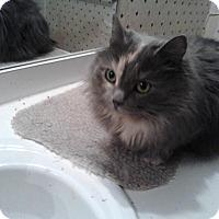 Adopt A Pet :: Sasha   lap cat - Sterling Hgts, MI