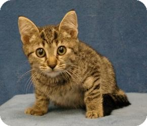 Domestic Shorthair Cat for adoption in Sacramento, California - Tony