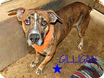 Boxer/Mountain Cur Mix Dog for adoption in Lawrenceburg, Tennessee - Gilligan
