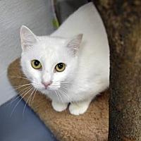 Domestic Shorthair Cat for adoption in Atlanta, Georgia - KK 12692